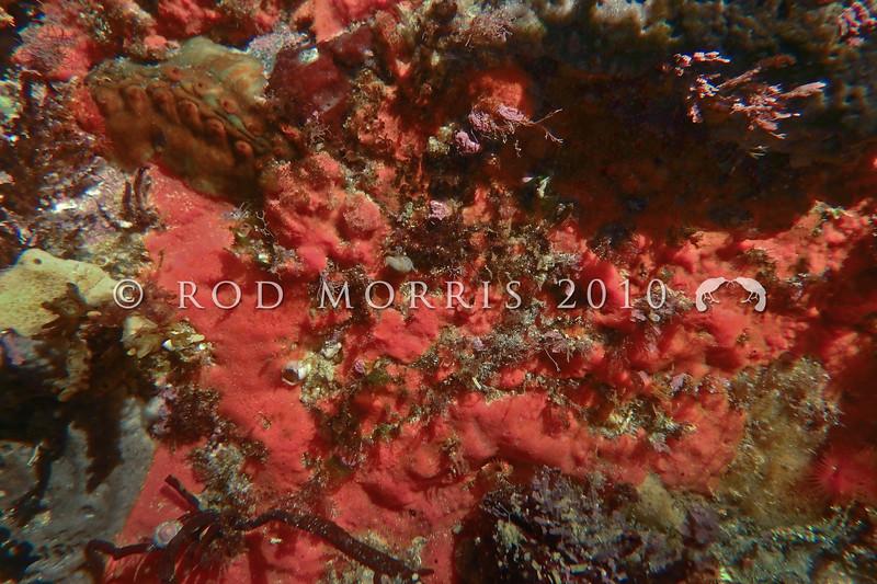 P_1010052  Pink sponge (Family Poecilosclerida) encrusting a rock in the low intertidal zone. Brighton Beach *