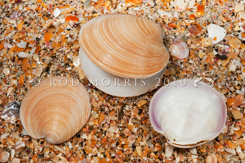 DSC_7782 Coarse Dosinia (Dosinia anus) beach drift shells. The largest and heaviest Dosinia species, and the most abundant surf clam in the North Island. Common sub-tidally, shallowly buried in fine sand, on open to moderate shores. Pakiri Beach, Northland *