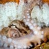 DSC_8485 Hutton's Octopus (Octopus huttoni) female octopus lay their eggs in clusters and attach them to rocky overhangs. Unlike many molluscs, octopus provide maternal care to their developing embryos. As well as guarding her eggs, she carefully cleans them with her tentacles, and aerates the water surrounding them with her siphon (shown). Aquarium Point, Otago Harbour *