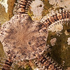 DSC_3700 Mottled brittle star, or wheki huna (Ophionereis fasciata) detail of disc. Found in low intertidal and subtidal. It is seldom found in the open, but lives underneath stones or inside cavities, from where it extends its arms. Pakiri Beach