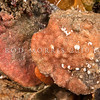DSC_9237 Orange rind bryozoan (Eurystomella sp.) an endemic bryozoan locally common, and encrusting the underside of rocks and on shell gravel. Colony is pink-to-red and encrusting, usually flat and in one layer on a rock or shell.  Harrington Point, Otago Harbour *