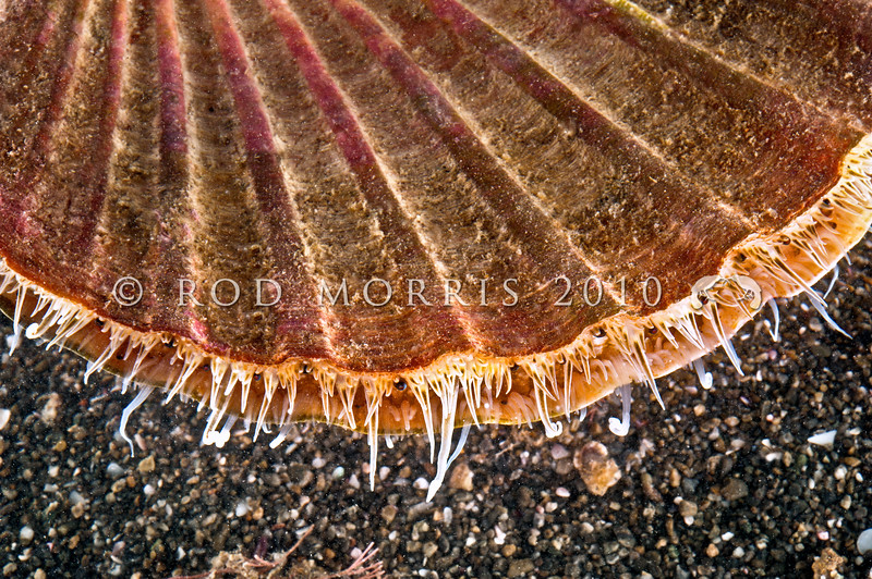 DSC_5556 Common scallop, or tipa (Pecten novaezelandiae) live animal. These large, often colourful shells are well known to NZers. Distinct in having strongly convex bottom valves, and flat upper valves as shown here. Pakiri Beach *