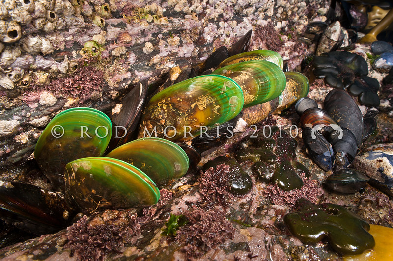 DSC_0146 Green-lipped mussel, or porohe (Perna canaliculus) a large greenish mussel, found from low intertidal to 50m on moderate to exposed shores. Common in the North island and now farmed commercially. Brighton Beach *