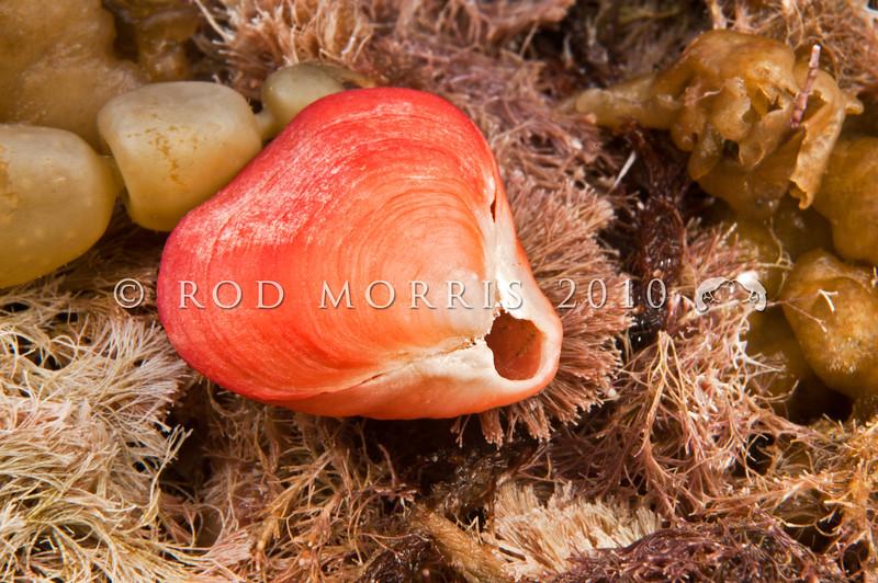 DSC_0590 Red brachiopod or papa kura iti (Calloria inconspicua) underside of empty shell washed up on reef. Cat's Eye Point, Kakanui *