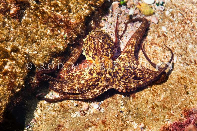 DSC_6888 Gibbs' octopus (Octopus tetricus) in rock pool. A medium to large species commonly found in rock pools and on subtidal reefs on the North Island east coast from Northland to the Bay of Plenty. The finely reticulated pattern on the skin is distinctive, and it also has orange arms and funnel - if visible. Pakiri Beach, Northland *