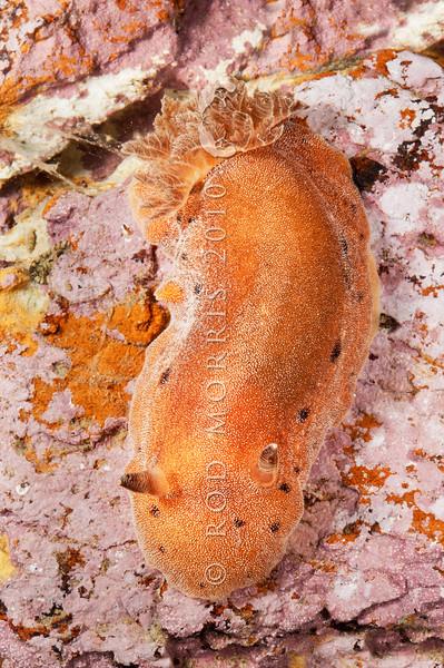 DSC_7489 Brown sea slug (Alloiodoris lanuginata) predator on sea squirts. Common in intertidal zone. Body feels like sandpaper. Colour variable from pale cream brown, dull reddish brown to ashen grey and rarely dark plum red. Otago Harbour *