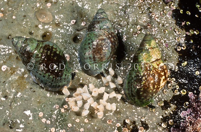 11006-12819 Spotted whelk (Cominella maculosa) with with egg capsules. Shell is maller, lighter, and more greyish-green, than the speckled whelk. Common on mudflats in the mid to low tidal zone adjacent to rocks and on flats of coralline algae and on Neptunes necklace on sheltered to semi-protected shores. Waihi *