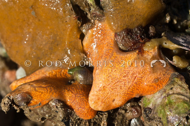 DSC_ 4308 Colonial ascidian (Botrylloides leachii) orange-cream coloured, but can also range from typically purple, through green, to cream. Forms flat slimy sheets that encrust a variety of surfaces. Broad Bay, Otago Peninsula *