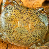 DSC_7353  Smooth shore crab (Cyclograpsus lavauxi) showing characteristically smooth edged carapace. Found on the rocky shore from high tide level down to about mid tide level. Otago Harbour *
