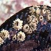 DSC_5405 Beaked barnacle, or werewere (Austrominius modestus) detail, encrusting a ribbed mussel shell. Brighton Beach