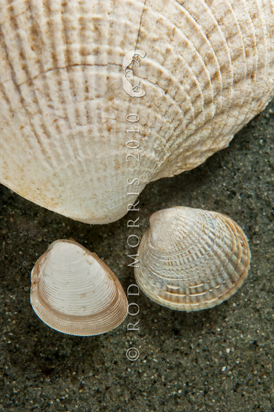 DSC_0193 White nut shell (Nucula sp.) common, sometimes abundant and compared here with large, and small cockle shells to show relative size. Found on the surface of muddy sandflats at and below low watermark. Whangateau *