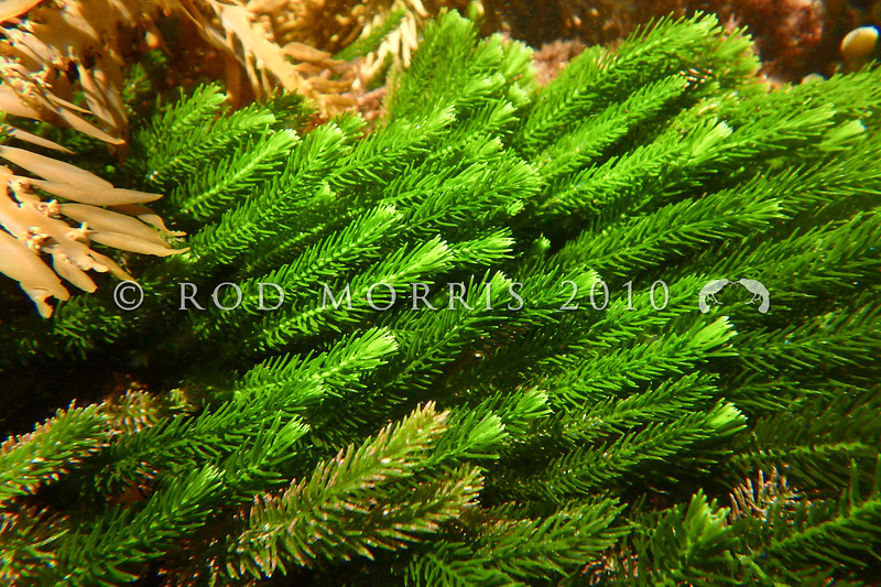 P_1220083 Sea rimu (Caulerpa brownii) underwater view. Grows from the low intertidal down to about 20m, deeper in Fiordland. Throughout the South Island, and southern North Island, on rock on open coasts. South Bay, Kaikoura Peninsula *