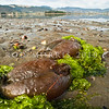 DSC_4751 Brown sea hare (Aplysia keraudreni) pair exposed by low tide amongst sea lettuce, during spawning. The largest common sea hare in New Zealand. Frequently seen during the late summer and autumn, when it comes into the low tide zone to mate and lay eggs. Colour varies from pale brown to chocolate and may have white streaks and mottles. Warrington *