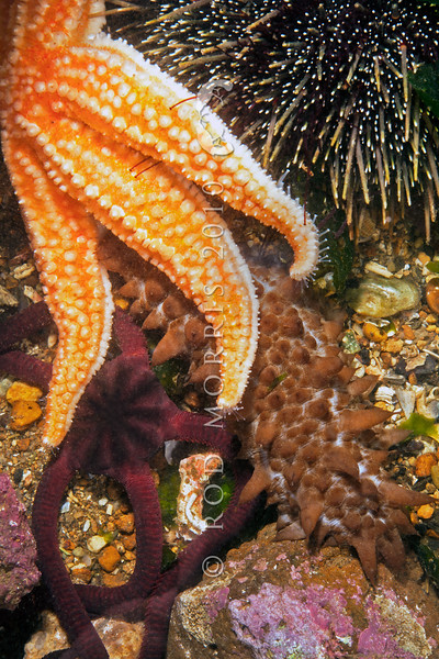 DSC_0475 A selection of echinoderms. Portobello Marine Laboratory *