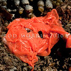 DSC_7598 Brown sea slug (Alloiodoris lanuginata) bright orange eggmass. Common in intertidal zone. Body feels like sandpaper. Colour variable from pale cream brown, dull reddish brown to ashen grey and rarely dark plum red. Otago Harbour *