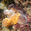 P_2140129 Brown sea slugs (Alloiodoris lanuginata) colour variation. Predators on sea squirts. Common in intertidal zone. Body feels like sandpaper. Colour variable from pale cream brown, dull reddish brown to ashen grey and rarely dark plum red. Brighton Beach *