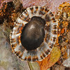 DSC_2386 Ornate limpet, or kakihi (Cellana ornata) showing underside of shell. Strongly sculptured with 11 prominent white radial ribs. Spaces between these ribs are dark with a row of white-toothed bumps forming weak ridges. Found higher on the shore than other Cellana, and often exposed to the elements. Cat's Eye Point, Kakanui
