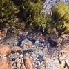 P_3160275 Snapper (Pagrus auratus) juvenile trapped in rock pool at low tide. Matai Bay, Karekare Peninsula *