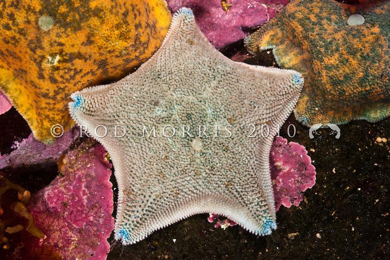 DSC_2769 Cushion sea star (Patiriella regularis) found from mid tide to 30 m deep. Colour variable. Otago Peninsula *