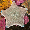 DSC_2769 Cushion sea star (Patiriella regularis) found from mid tide to 30 m deep. Colour variable. Otago Peninsula *