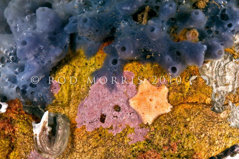 DSC_7770 Unidentified blue sponge, with a 1cm long juvenile Cushion sea star (Patiriella regularis) beneath rock at low tide. Aquarium Point, Otago Harbour