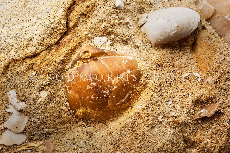 DSC_4699 A fossil brachiopod from the early Oligocene (23mya) embedded in limestone *