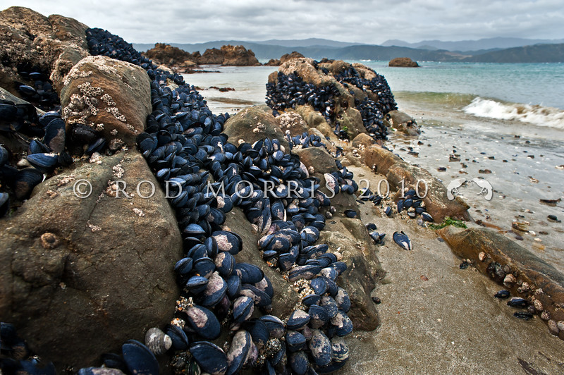 DSC_3930 Blue mussel, or toretore (Mytilus galloprovincialis) on rocks at low tide. Very common in parts of the South Island, less common in the North. Palmer Bay, Wellington *