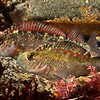 DSC_8676 Common triplefin (Forsterygion lapillum) males displaying outside nest. Most common shallower than 5m in semi-sheltered locations. Usually found in rock pools. Nordic Bay, Leigh Coast