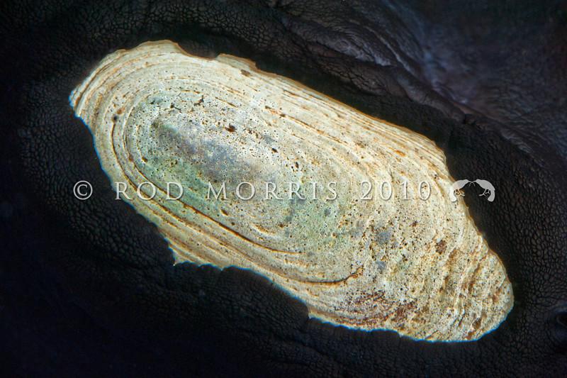 DSC_9633 Duck's bill limpet, or rori (Scutus breviculus) detail of shell exposed. Aquarium Point, Otago Harbour