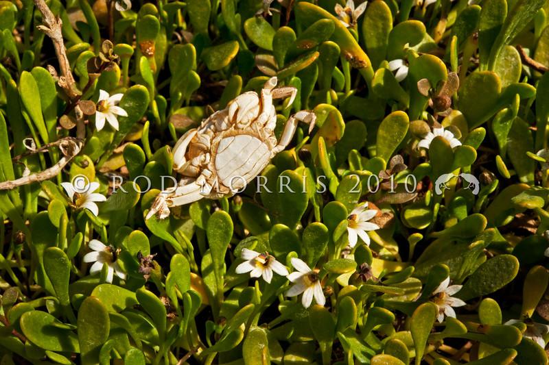 DSC_1310 Half star, or remuremu (Selliera radicans) in flower, and forming a dense turf of 'salt meadow' on the salt marsh. Purakanui Inlet, Otago