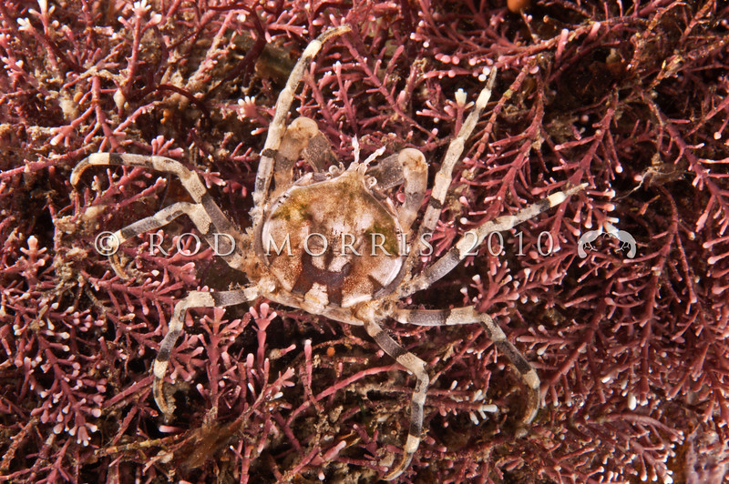 DSC_6694 Slender pill box crab (Halicarcinus cookii) legs have a row of triangular teeth on the last segment. Highly variable in colour according to habitat.  Found in the mid to low intertidal often amongst coralline algae, or among brown seaweeds. Moeraki *