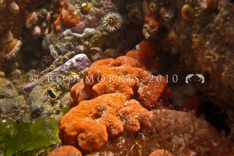 P_10004 Orange encrusting sponge (Crella incrustans) under rock ledge in the intertidal zone. Extremely common, found all around New Zealand in a range of sheltered and exposed habitats. Also on shallow coastal rocky reefs, and deeper continental shelf seamounts and banks. Warrington *