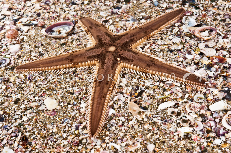 DSC_7273 Comb star, or pekapeka (Astropecten polyacanthus) sometimes found on sand at low intertidal. A five -pointed star, with very spiny edges, and a dense pile-like texture on top. Occurs around the North Island east coast, and in southern Australia. Whangateau Harbour *