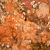 DSC_9243 Orange rind bryozoan (Eurystomella sp.) an endemic bryozoan locally common, and encrusting the underside of rocks and on shell gravel. Colony is pink-to-red and encrusting, usually flat and in one layer on a rock or shell.  Harrington Point, Otago Harbour *