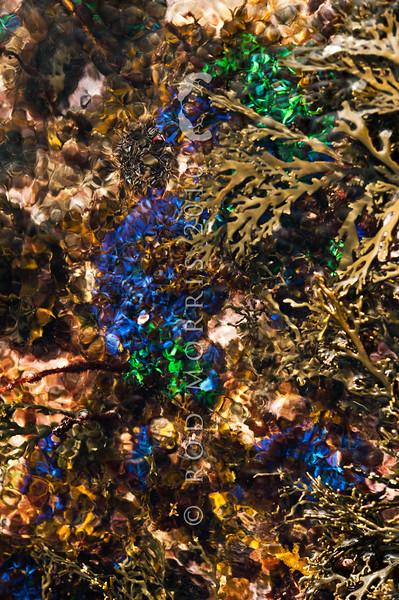 DSC_3136 Iridescent blue seaweed (Champia laingii) a low intertidal to subtidal red algae, which often occurs around the margins of shallow pools. Colour is a brilliant blue or green iridescence when fresh. Maitai Bay, Karikari Peninsula *