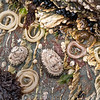 DSC_8944 Large siphon limpet (Siphonaria obliquata) adults close to their recently layed egg masses, found in late spring (November), on high-tidal rocks on exposed coasts. Brighton Beach *