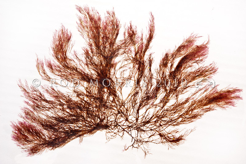 DSC_569 Filamentous red seaweed (Polysiphonia strictissima) a pressed and dried sample at the NZ Marine Studies Centre. Found in the intertidal to upper subtidal, in sheltered waters to moderately exposed coasts, and often in estuaries or harbours. Otago Harbour *