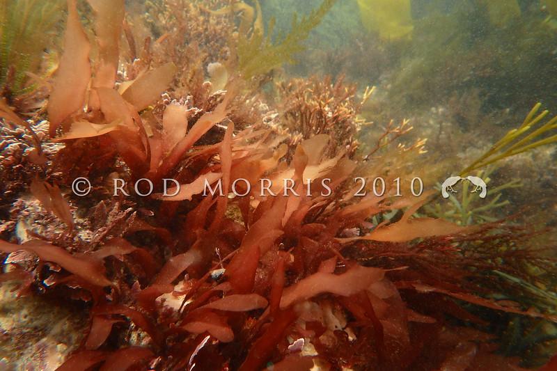 PC_10095 Red seaweed (Rhodymenia leptophylla) Brighton Beach *