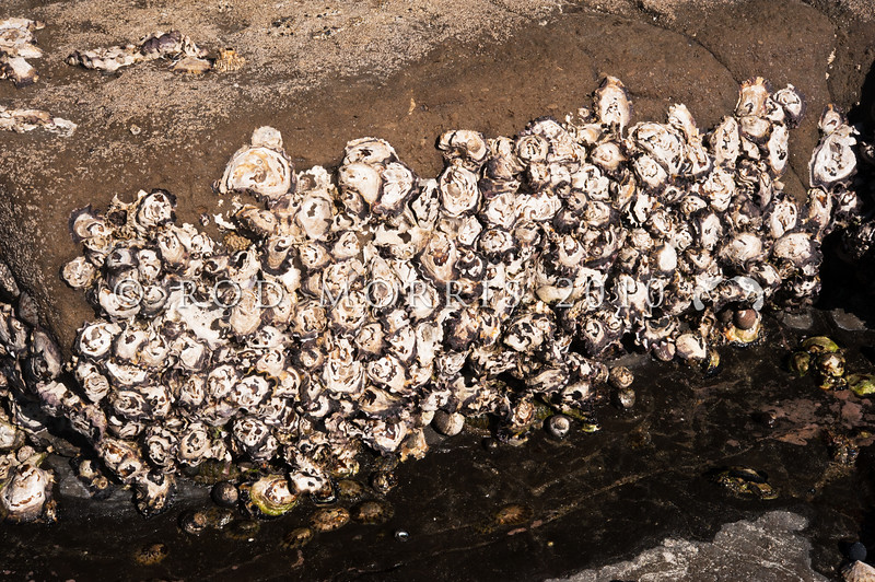 DSC_6896 Northern rock oysters, or tio repe (Saccostrea glomerata) shells solid and variable in shape, particularly when growing in dense beds such as here, on rock in the mid-intertidal zone. Pakiri Beach *