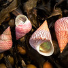 DSC_3284 Two smaller, Red top shells (Micrelenchus purpureus) from Goat Island Marine Reserve, Leigh, to left of picture, and two larger Opal top shells (Cantharidus opalus) from Tokerau Beach, Karikari Peninsula, on seaweed. Note the characteristic irridescent interior of shells of both species.