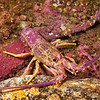 DSC_7620 Crayfish, or Red rock lobster (Jasus edwardsii) this juvenile is unusually pink in colour. Crayfish feed on a variety of invertebrates including star fish, urchins, mussels, scallops and clams. They aggregate in caves and crevices during the day venturing out on to soft sediments at night to feed. Goat Island Marine Reserve, Leigh