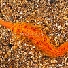 DSC_2705 Cirratulid worm (Timarete anchylochaeta) usually burrowing in soft sediments, and common in the lower half of the shore. The body is generally cylindrical, tapering at both ends, with  simple elongate filaments along the body. Some tentacles at the front are grooved for deposit-feeding, but the majority - one pair per segment - do not have grooves. Otago Harbour *