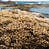 DSC_3049 Columnar barnacle (Chamaesipho columna) found at the mid tide level and can be very densely packed in a 'honeycomb' pattern. Brighton Beach *