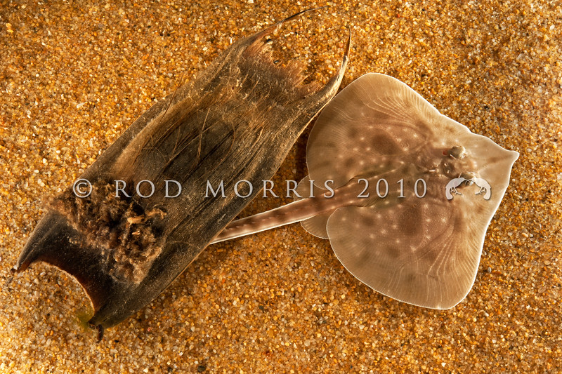 DSC_8721  Rough skate (Zearaja nasuta) young skate recently emerged from egg case. Occurs on sand and mud in inshore waters, and on the continental shelf down to at least 600m. Otago Harbour *