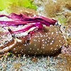 P_2240005  Little sea hare (Aplysia parvula)  ' inking' - producing a cloud of purple ink from its mantle cavity after being disturbed in a rock pool. There is evidence sea hares store noxious chemicals from algae, in their skins. When these chemicals are secreted, they provide a powerful defence against predators. Brighton Beach *