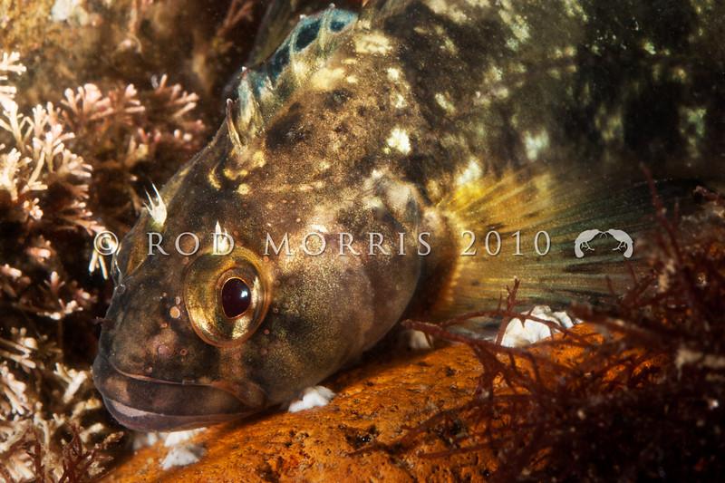 DSC_9844 Mottled triplefin, or kokopara (Forsterygion capito) Aquarium Point, Otago Harbour
