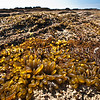 DSC_7451 Brown sea sac (Adenocystis utricularis) found on intertidal rock on open coasts. Catseye Point, Kakanui *