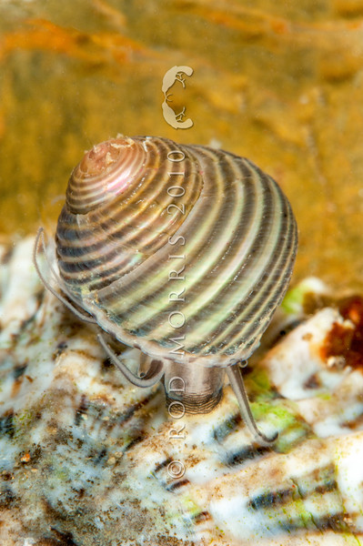 DSC_2354 Small top shell (Micrelenchus tenebrosus) found on seaweeds such as Ulva, or seagrasses, in sheltered sandy bays, but also on semi-exposed rocky shores, in the southern part of its range. All Day Bay, Kakanui