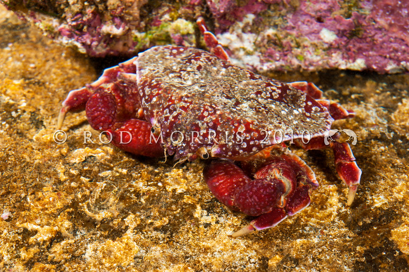 DSC_7607 Triangle crab (Eurynolambrus australis) found under rocks and boulders in low intertidal pools. A slow moving scavenger of the remains of fish and invertebrates. Goat Island Marine Reserve, Leigh *
