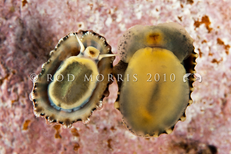 DSC_2910 Encrusted limpet, or ruharu (Patellioda corticata) underside, (on left), compared with Siphon limpet, or ngakihi awaawa (Siphonaria australis) on right. These two animals are frequently confused because of their similar shells. Aquarium Point, Otago Harbour *